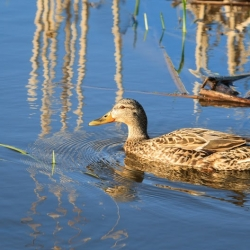 Mallard on Miner's Marsh – Steven Kennard 2013
