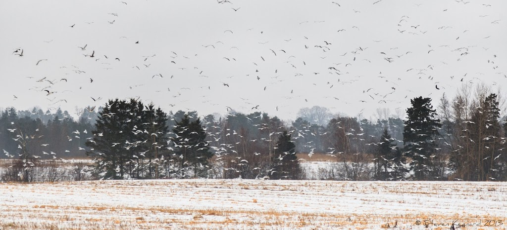Gulls over snowy fields - Steven Kennard 2013