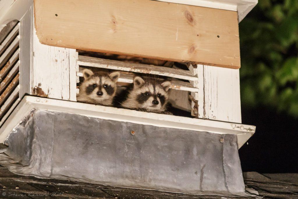 Baby Raccoons - Steven Kennard 2014