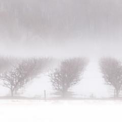 Annapolis Valley Orchard - Steven Kennard