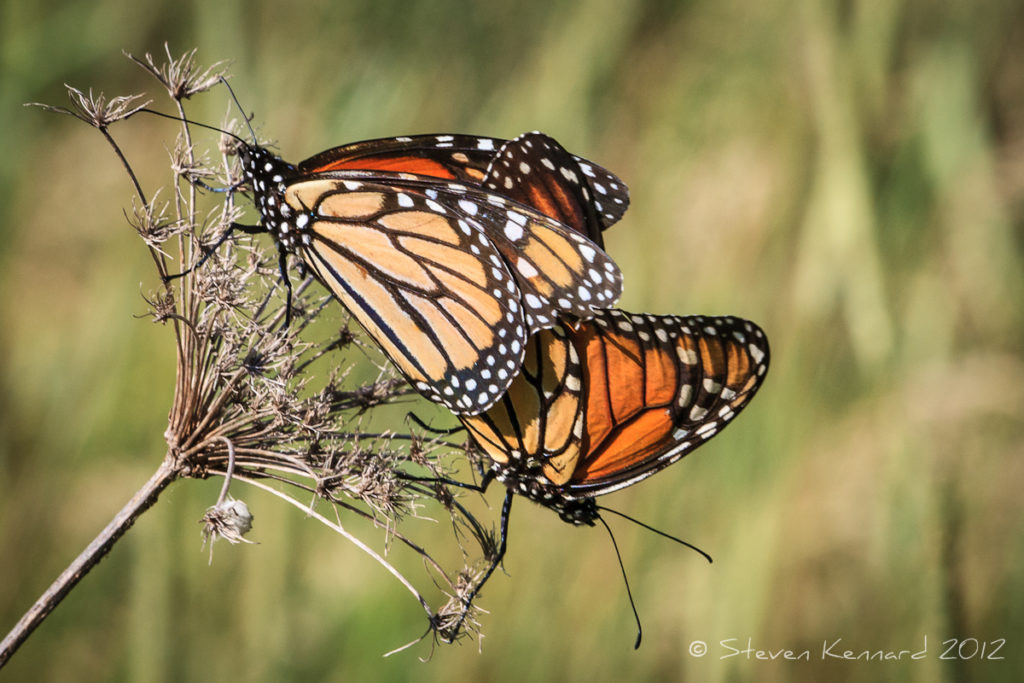 Monarch Butterflies Mating - Steven Kennard 2012