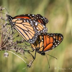 Monarch Butterflies Mating - Steven Kennard 2012