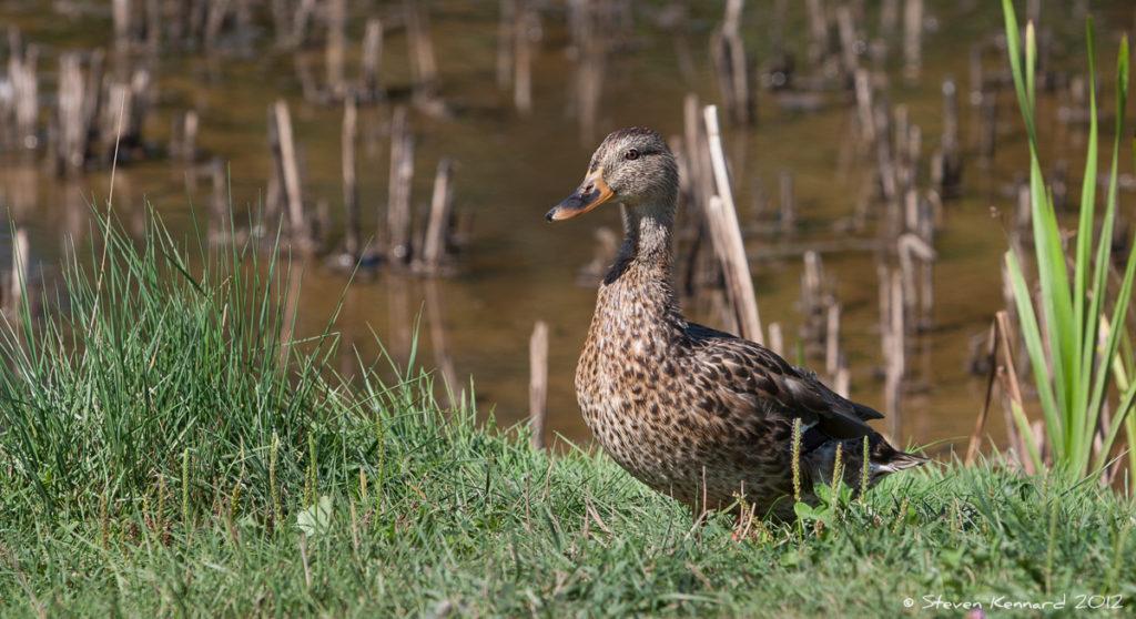 Female Mallard, Miner's Marsh - Steven Kennard 2012