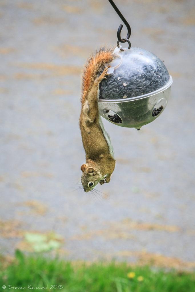 Circus Squirrel - Steven Kennard 2013