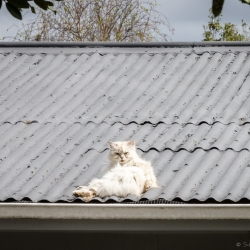 Cat on a hot tin roof, New Zealand - Steven Kennard 2016
