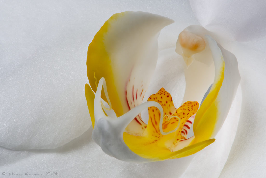 Orchid - Macro Focus Stacked Image - Steven Kennard 2013