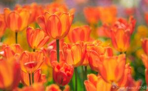 Sun in Tulips - Steven Kennard 2012