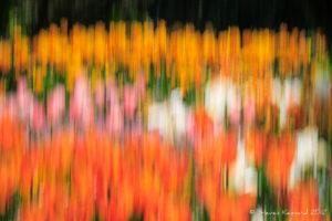 Tulip Trip - Steven Kennard 2012