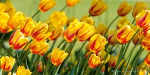 Tulips, Karlsruhe, Germany - Steven Kennard 2012
