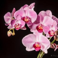 Ellie's Orchid - Steven Kennard 2012