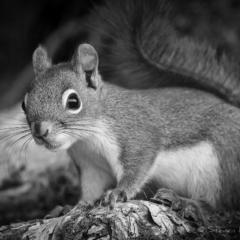 Red Squirrel, Keji - Steven Kennard 2012
